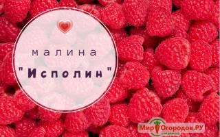 Малина суперкрупноплодная гордость России Исполин