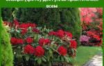 Рододендрон японский в Сибири